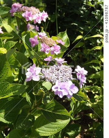 夏を彩るガクアジサイの紫色の花 41098787