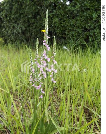 螺子状の可愛い桃色の花はモジズリの花 41098796