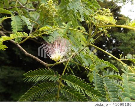 淡紅色のおしべが長く美しいネムノキの花 41099186