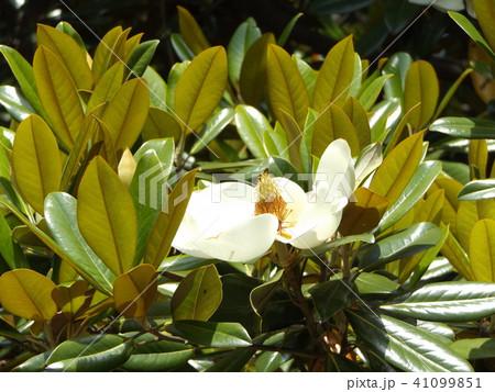 大きい真っ白な花はタイサンボクの花 41099851