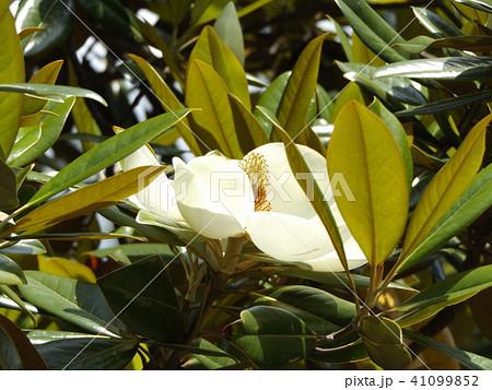 大きい真っ白な花はタイサンボクの花 41099852