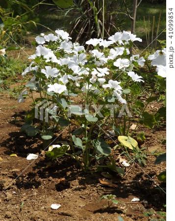 ラバテラの白い花 41099854