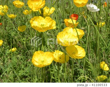 アイスランドポピーのオレンジ色の花 41100533