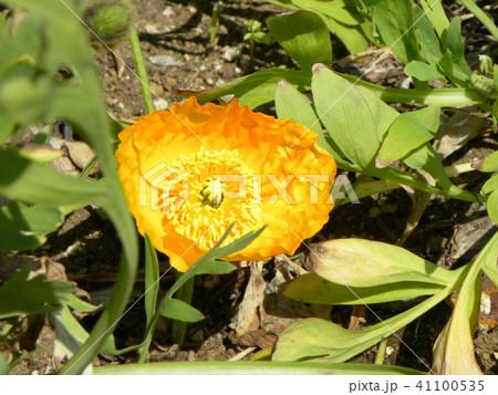 アイスランドポピーのオレンジ色の花 41100535