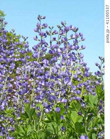 ムラサキセンダイハギの青紫色の綺麗な花 41100537