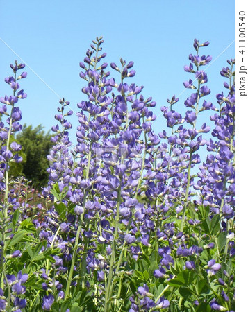 ムラサキセンダイハギの青紫色の綺麗な花 41100540