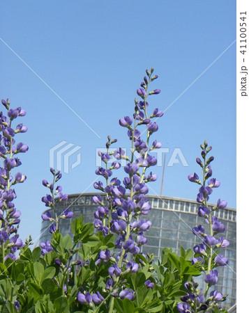 ムラサキセンダイハギの青紫色の綺麗な花 41100541