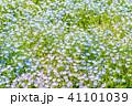 満開 ネモフィラ 花の写真 41101039