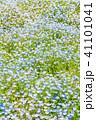 満開 ネモフィラ 花の写真 41101041