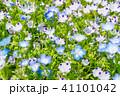満開 ネモフィラ 花の写真 41101042