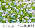 満開 ネモフィラ 花の写真 41101044