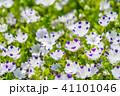 満開 ネモフィラ 花の写真 41101046