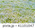 満開 ネモフィラ 花の写真 41101047