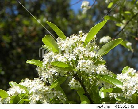 秋に赤い実を付ける白い花はピラカンサスの花 41101945