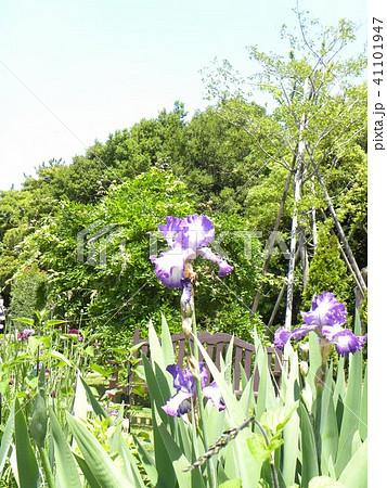青色と空色のジャーマンアイリスの花 41101947