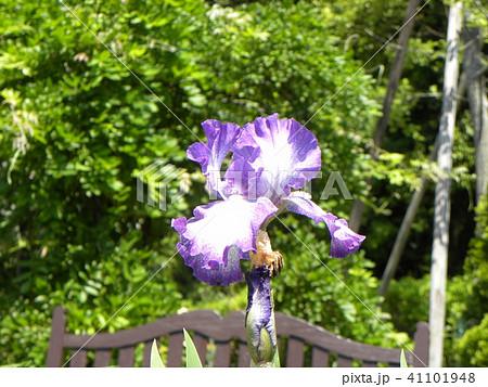 青色と空色のジャーマンアイリスの花 41101948