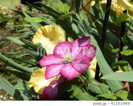 蔓性植物のクレマチスの紫色の花 41101949