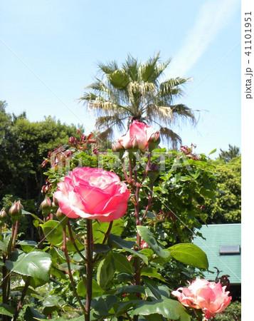 桃色のバラの花と花とヤシノキ 41101951