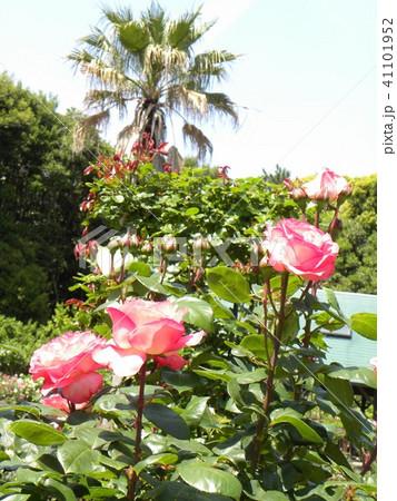 桃色のバラの花と花とヤシノキ 41101952