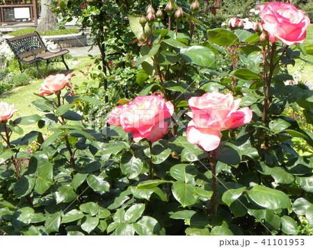 桃色のバラの花 41101953