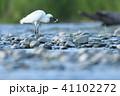 多摩川 コサギ 1羽の写真 41102272