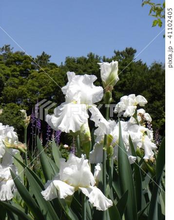 白色のジャーマンアイリスの花 41102405