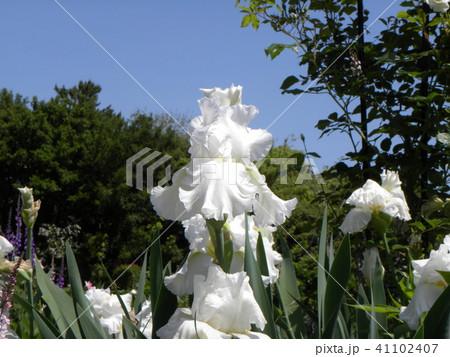 白色のジャーマンアイリスの花 41102407