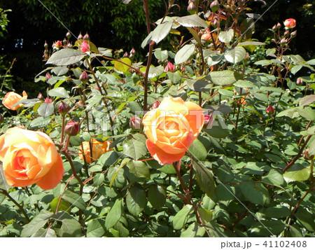オレンジ色のバラの花 41102408