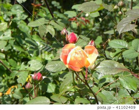 オレンジ色のバラの花 41102409