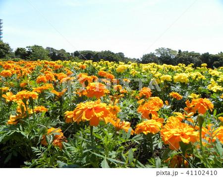 青空に映えるオレンジ色いマリーゴールドの花 41102410