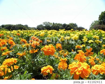 青空に映えるオレンジ色いマリーゴールドの花 41102411