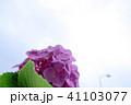 初夏の紫陽花 41103077