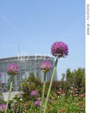 大きいポンポン咲きの桃色の花アリュムギガンチュム  41103242
