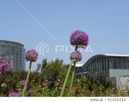 大きいポンポン咲きの桃色の花アリュムギガンチュム  41103243