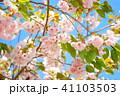 桜 葉桜 八重桜の写真 41103503