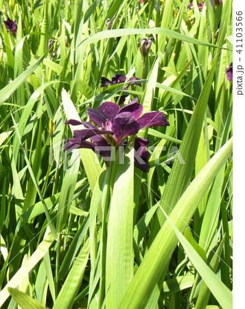 潮来アヤメ園の紫色の菖蒲の花 41103566