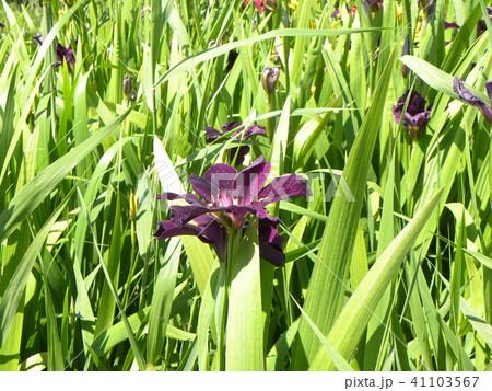 潮来アヤメ園の紫色の菖蒲の花 41103567