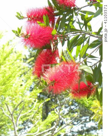 オオストラリア原産の赤いブラシのような花はブラシノキの花 41103571