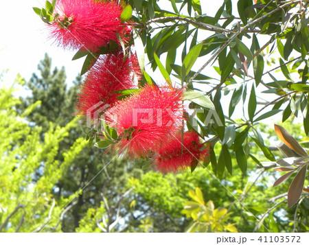 オオストラリア原産の赤いブラシのような花はブラシノキの花 41103572