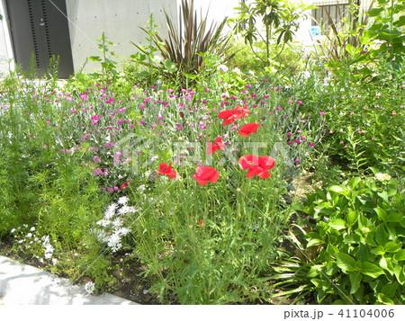 赤いけしの花が目立つこじま花の会の花畑 41104006
