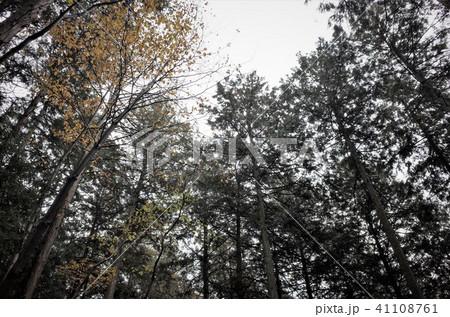 ローアングルで見上げた森の木々 41108761