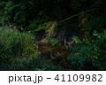 ホタル ゲンジボタル 川の写真 41109982