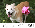 笑顔で見つめる犬と芍薬 41111561