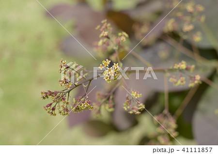 スモークツリーの花 41111857