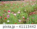 植物 満開 花畑の写真 41113442