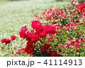 花 バラ マイナーフェアーの写真 41114913