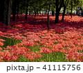 彼岸花 曼珠沙華 リコリスの写真 41115756