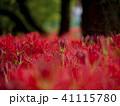 彼岸花 曼珠沙華 花畑の写真 41115780