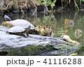 カルガモ 雛 鴨の写真 41116288