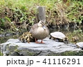 生後2日目のカルガモの親鳥とヒナ 41116291